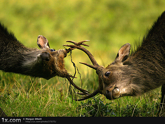 Stags Fight