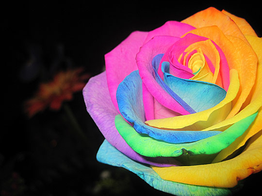 Rainbow roses are hard to find