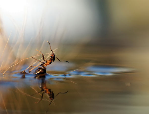 Beautiful Ant REflection