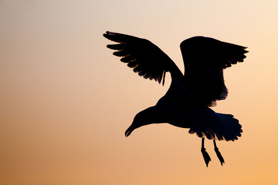Birds_Silhouette_Flight_by_KintzPhotography