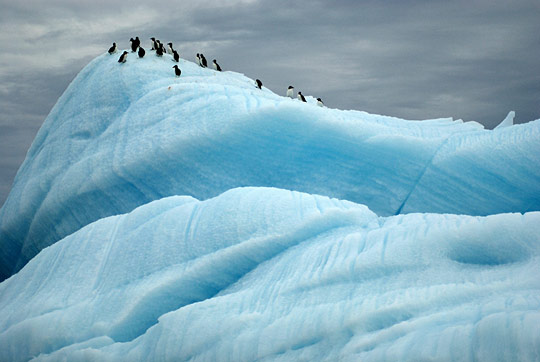 Thick-billed Murres on the Iceberg