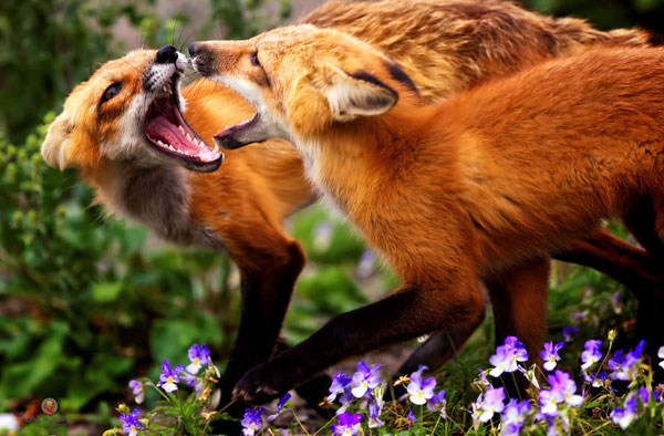 Foxes (Fooling around)