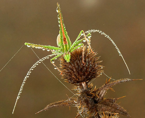 Grasshopper in Morning Dew