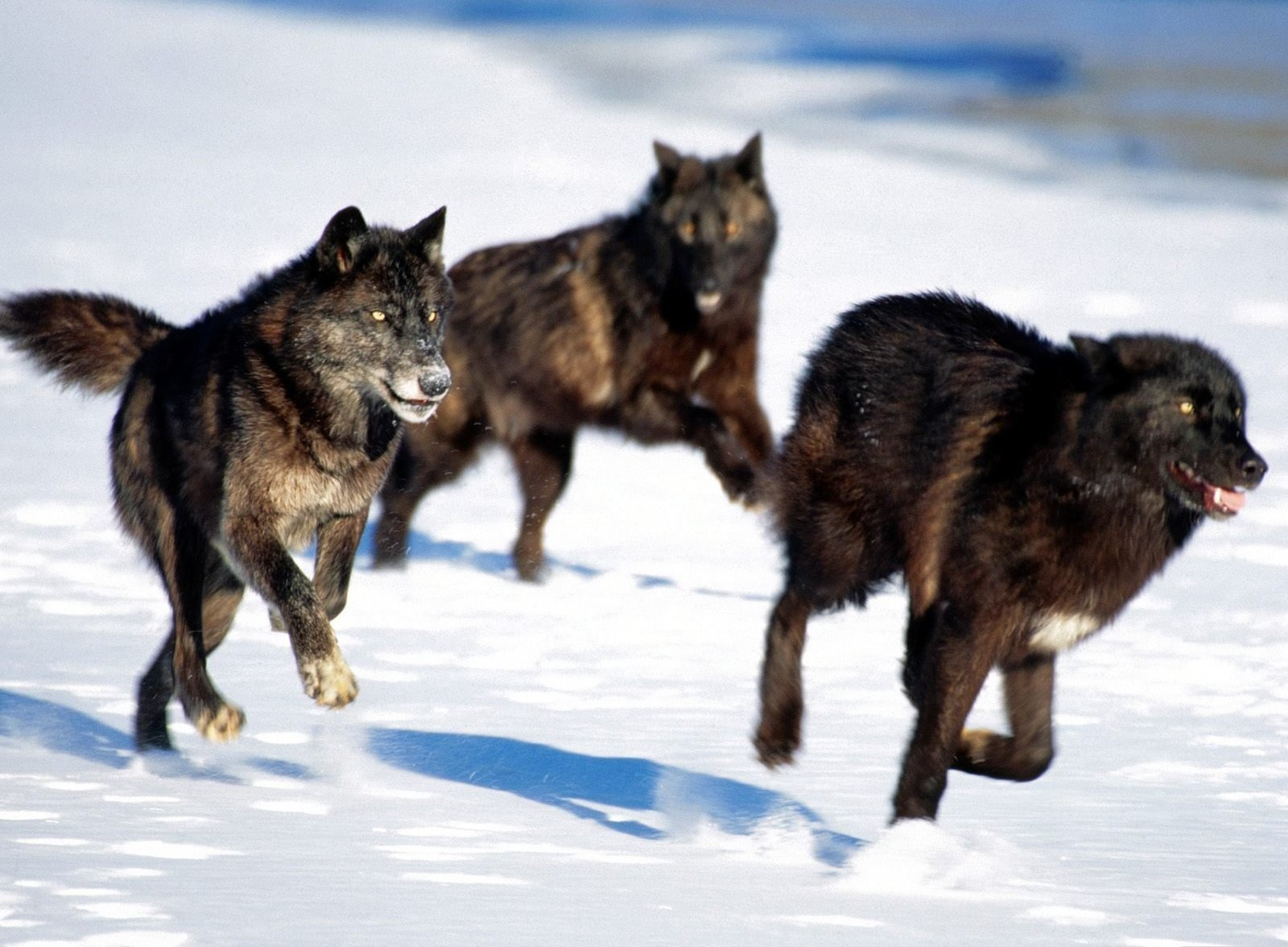 wolves8 Wolves
