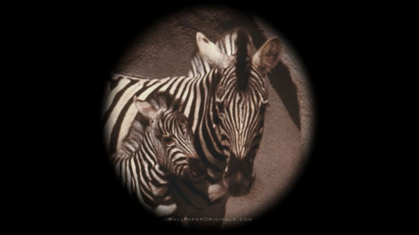A mother zebra and her colt