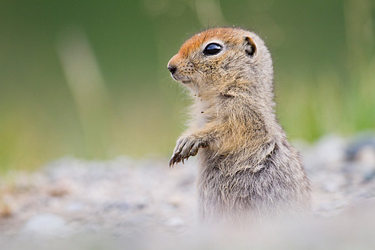 Young arctic ground squirrel