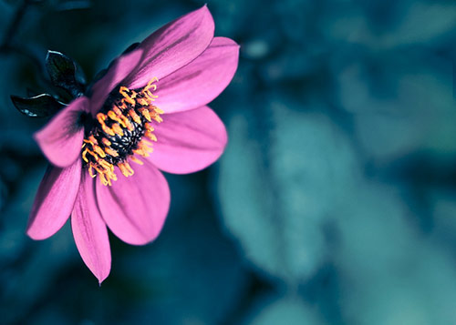 1 flower dream in 40 Amazing and Beautiful Pictures of Flowers