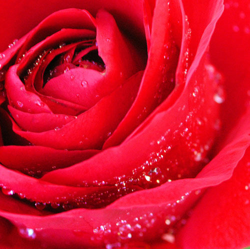 2 deep passion in 40 Amazing and Beautiful Pictures of Flowers