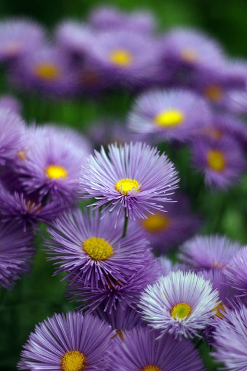 22 violet flowers in 40 Amazing and Beautiful Pictures of Flowers