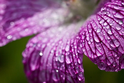 32 purple drops in 40 Amazing and Beautiful Pictures of Flowers