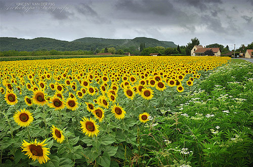 39 sunflowers missing the sun in 40 Amazing and Beautiful Pictures of Flowers