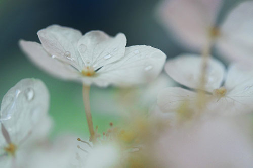 4 dream a little dream of me in 40 Amazing and Beautiful Pictures of Flowers