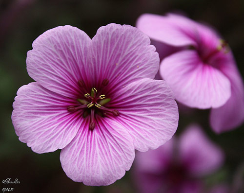 5 flower blume storchenschnabel in 40 Amazing and Beautiful Pictures of Flowers
