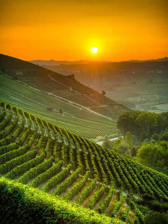 Vineyards at sunrise