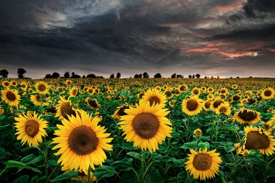 Sunflowers of the Storm