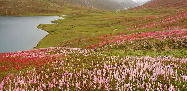 Dudipatsar Lake: Flower fields to die for