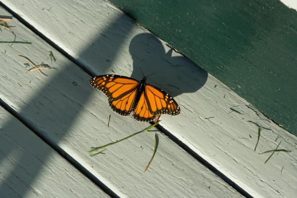 Butterfly Shadow