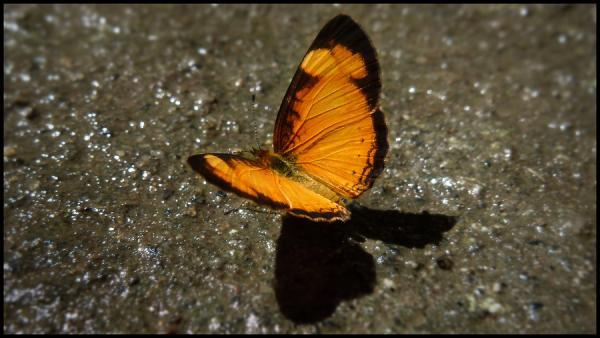 Yellow Lined Butterfly