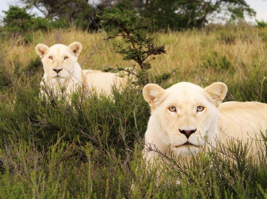 White Lions, South Africa