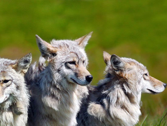 Three Brother Wolves