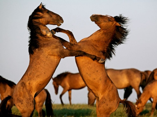 Stallions Fighting, South Dakota