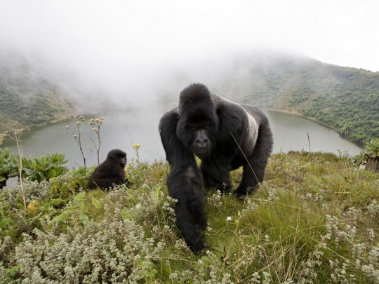 Silverback Mountain Gorillas