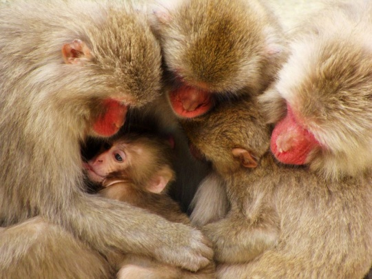 Macaque Family, Japan