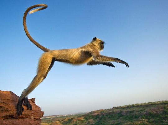 Leaping Langur, India