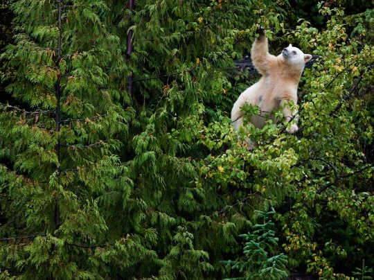 Kermode Bear in Tree, British Columbia