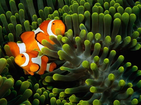 Clown Anemonefish, Indonesia