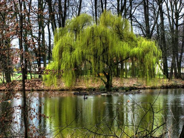 River Weeping Willow