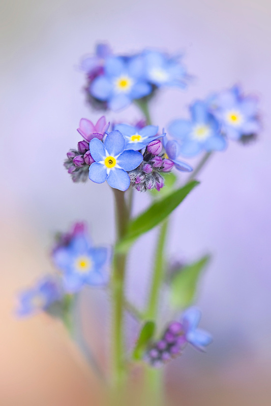 Forget-me-not Spring