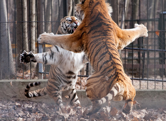 wild tiger photography