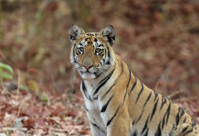 Tiger view on wildlife pictures