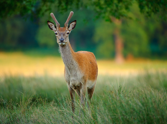 Beautiful wildlife deer