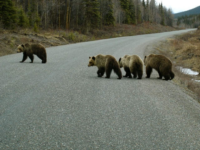 heavy traffic of bears