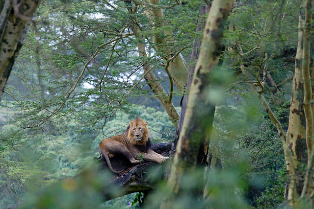 lion on the forest woods