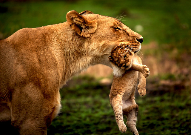 lioness and baby