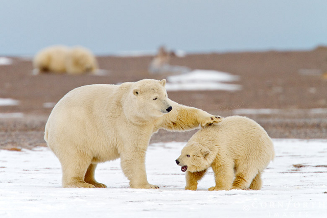 barter island polar bears on ice