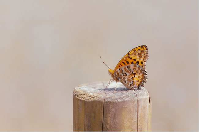 butterfly-pictures-15