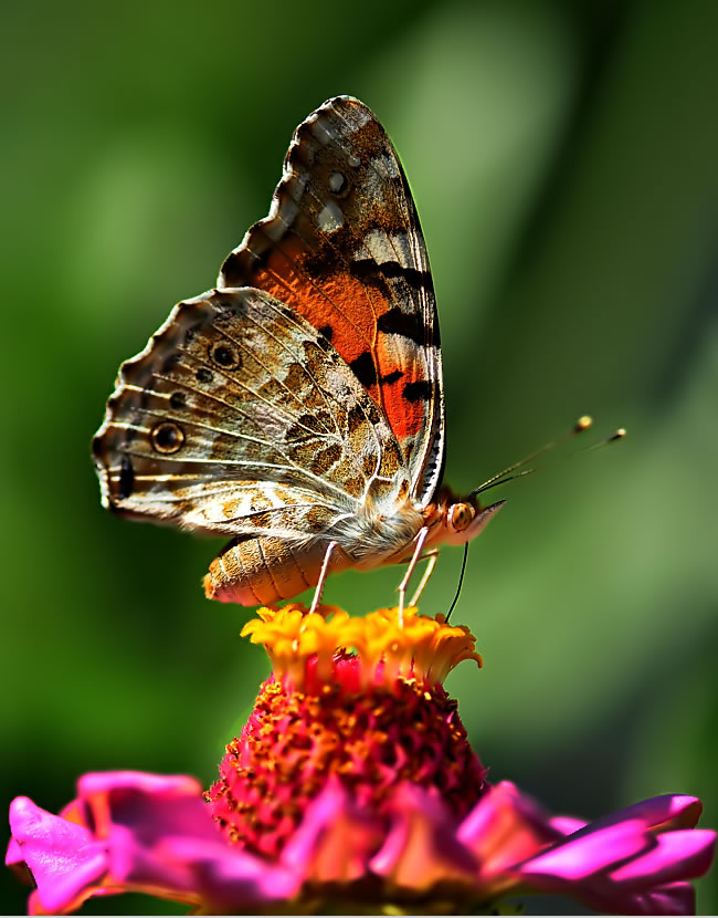 butterfly-pictures-33