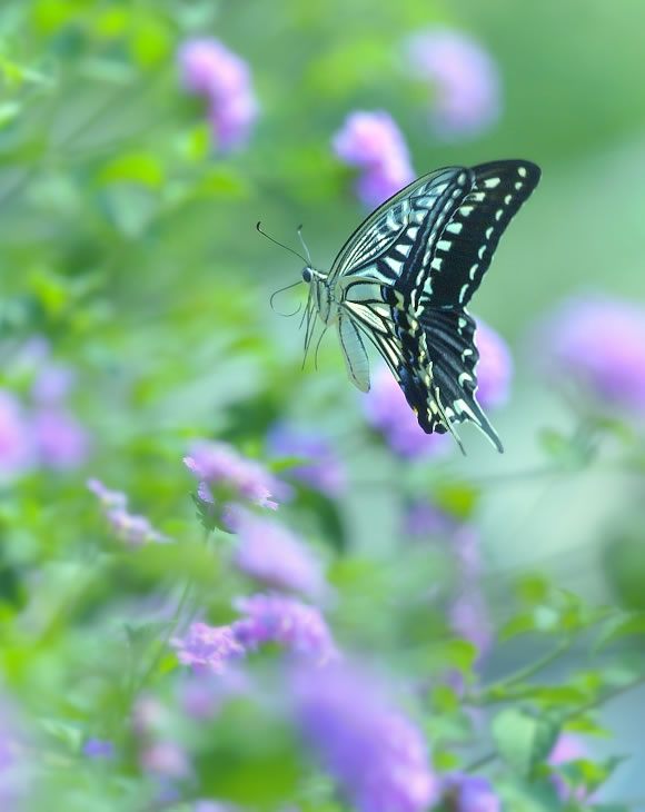 butterfly-pictures-38