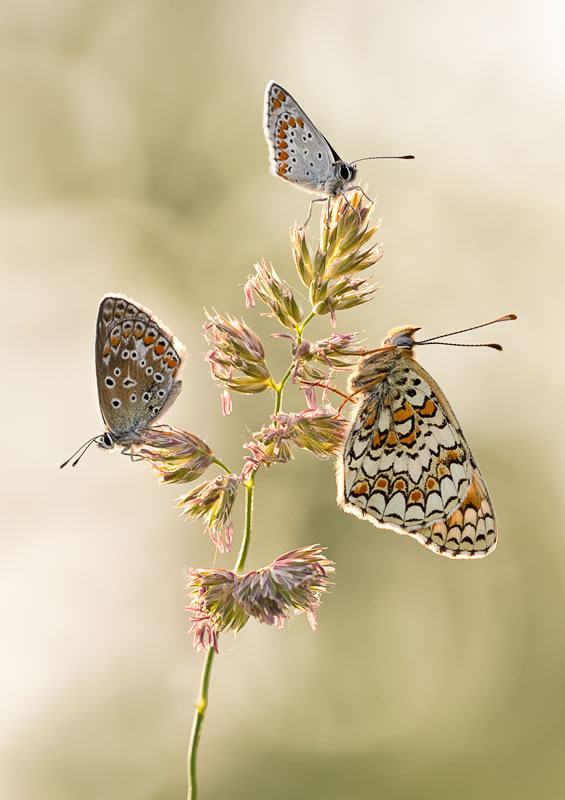 butterfly-pictures-4