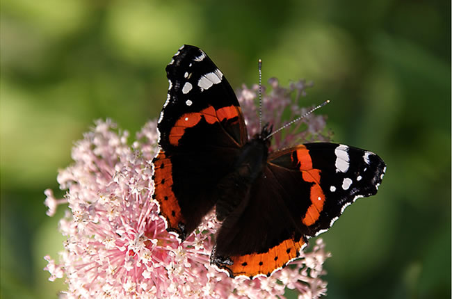 butterfly-pictures-42