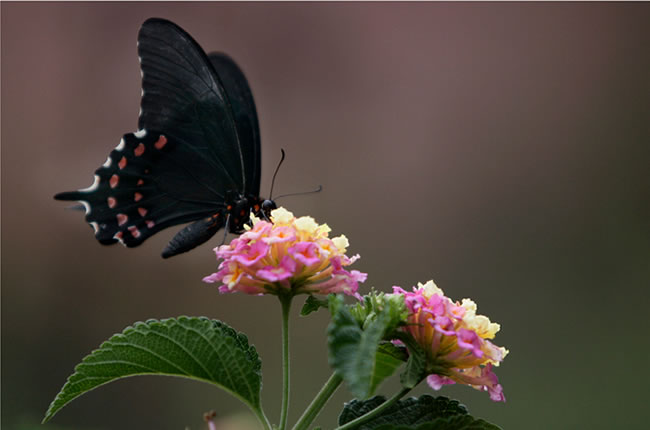 butterfly-pictures-43