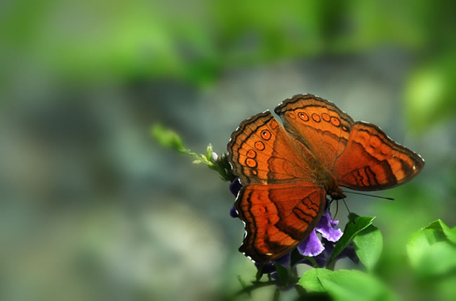 butterfly-pictures-50