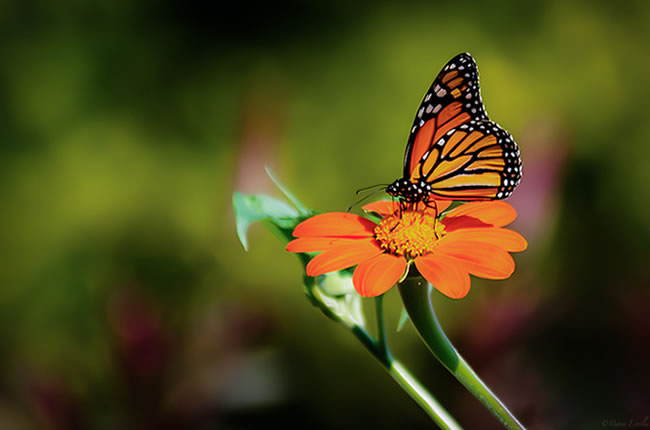 butterfly-pictures-55