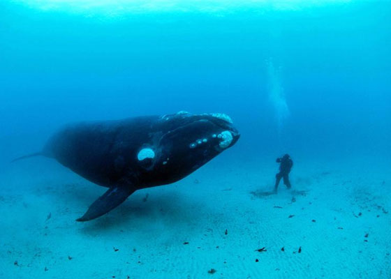 Curious Southern Right Whale