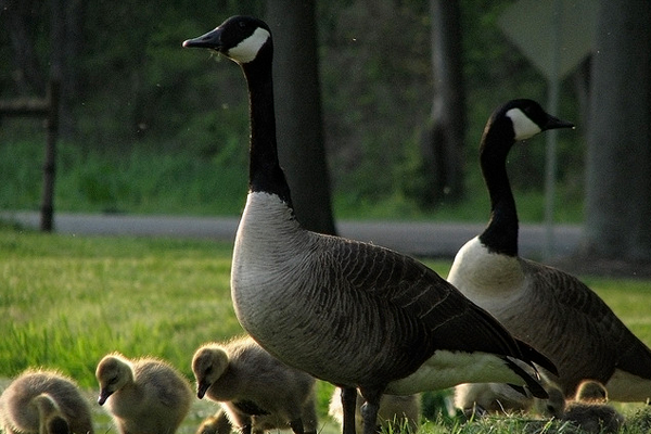 spring wild flock of geese photo