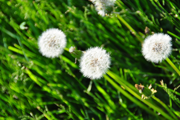 quebec canada photo dandelion seeds